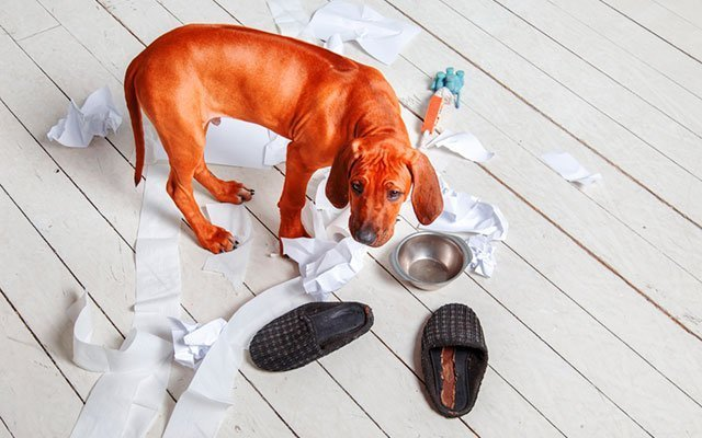 Does Your Dog Go Crazy When He's Alone at Home? How to Handle It?